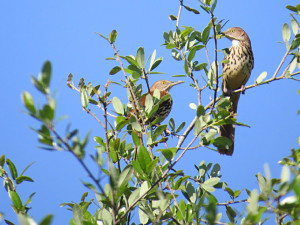 brown thrashers spring 2015 nBorja copy150914
