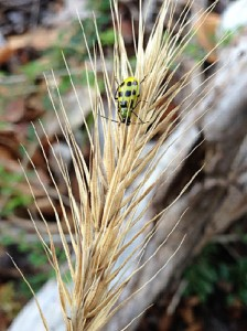 11-2014 green beetle on possible VA wild rye 150914