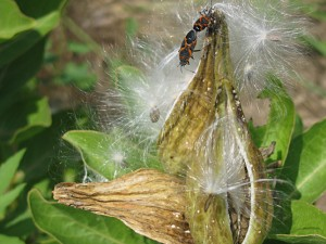 June 2012 Milkweed seed & insect 5 088150914