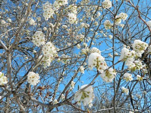 Snow of pear blossoms 2015 (1)150914